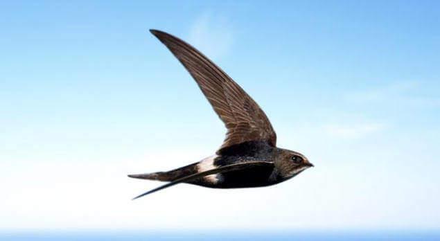 Самые быстрые птицы