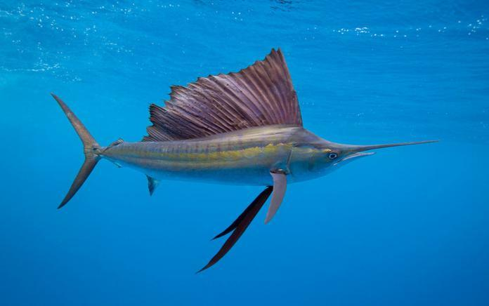 Самые быстрые рыбы