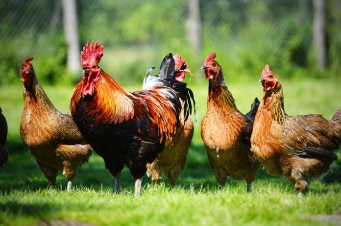 Сохранились ли дикие предки домашних кур?