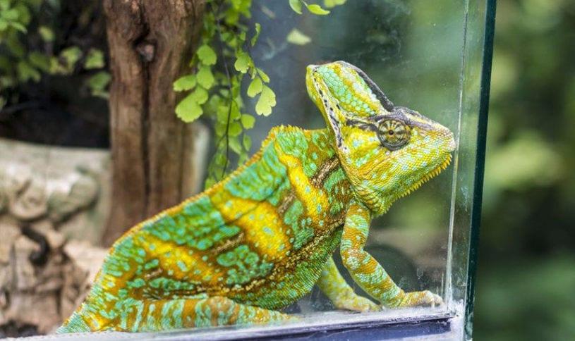 Содержание хамелеона в домашних условиях