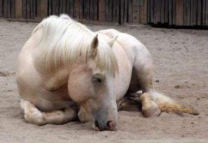Спящая домашняя лошадь