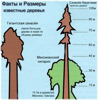 Сравнение секвойи с другими деревьями