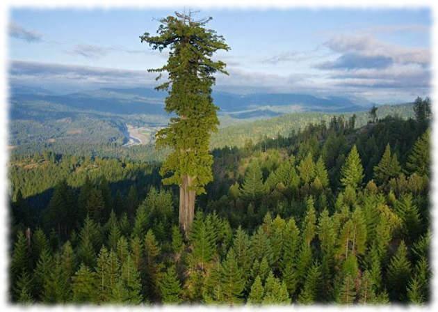 Секвойя Гиперион (Hyperion) — самое высокое дерево в мире
