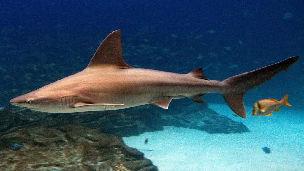 Серые акулы