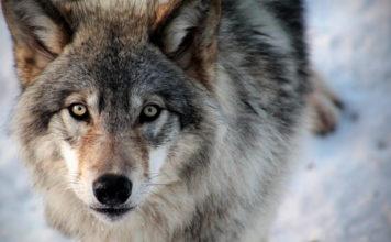Все ли собаки представляют собой подвид волка?