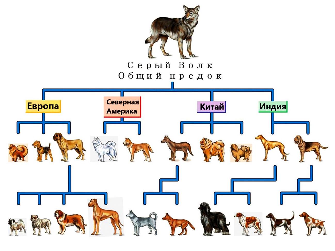 Волк серый - общий предок домашних собак