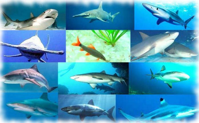 Самые редкие акулы