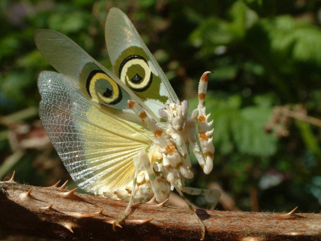 Шипастый цветочный богомол