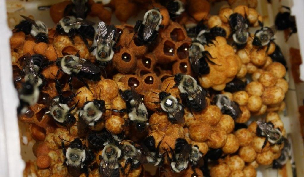 Медовые соты в шмелином улье