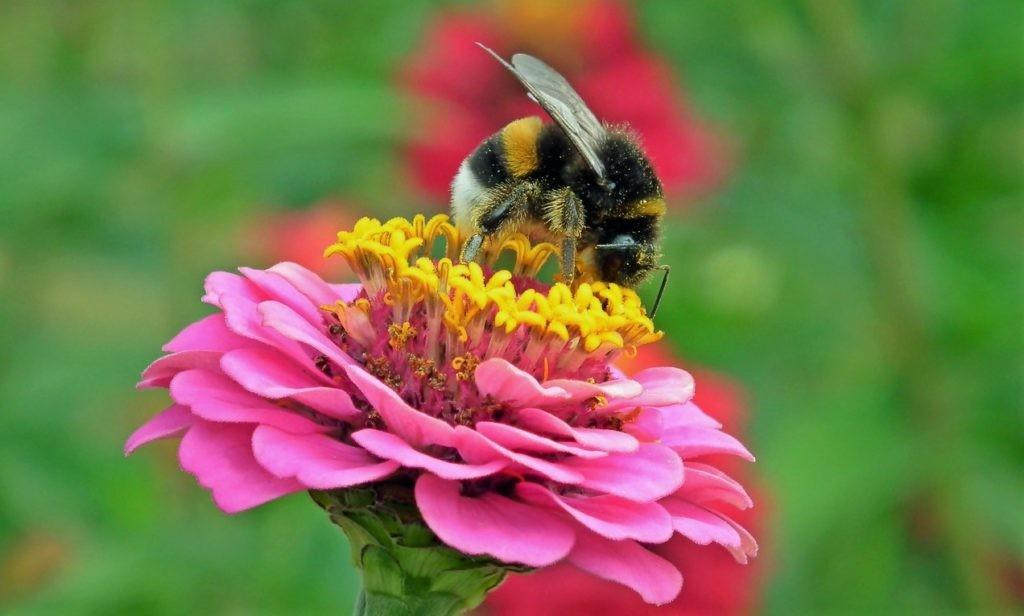 Фото шмеля, собирающего пыльцу с цветка