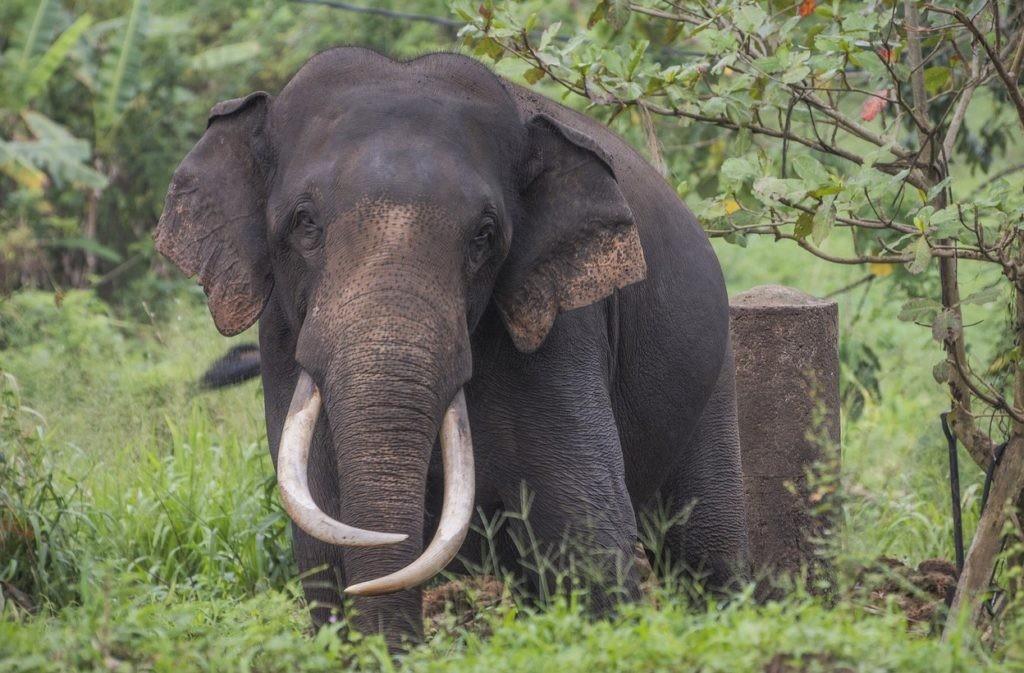 Шриланкийский слон