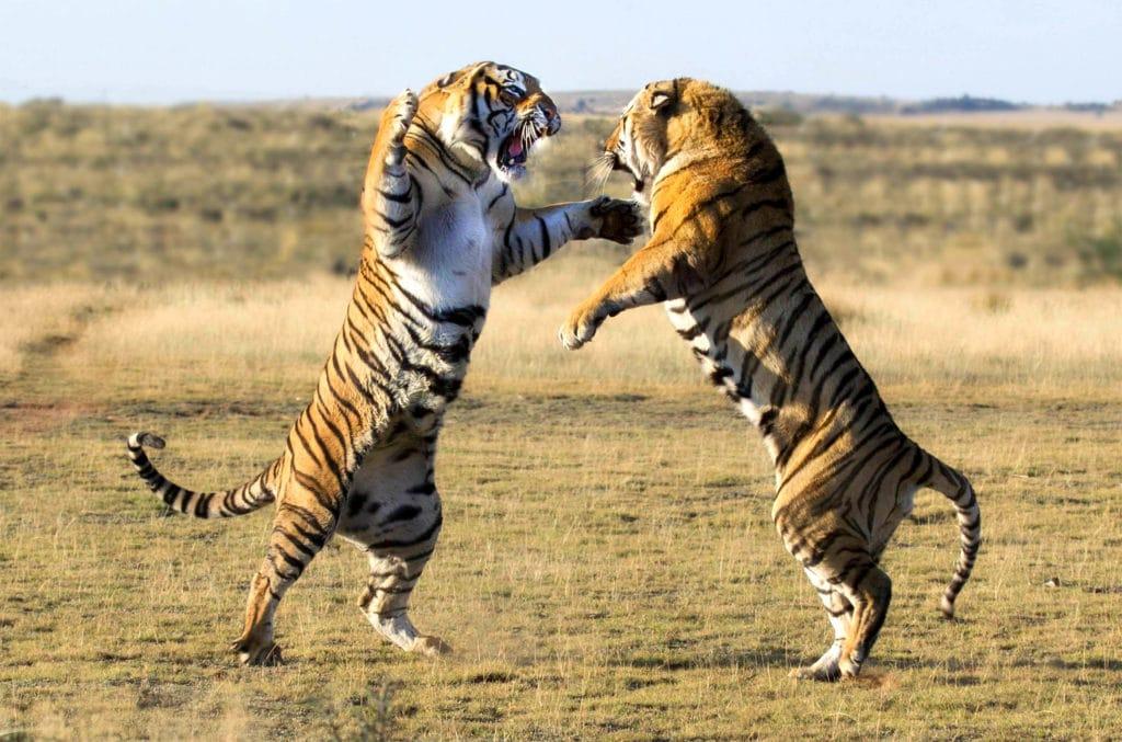 Схватка тигров
