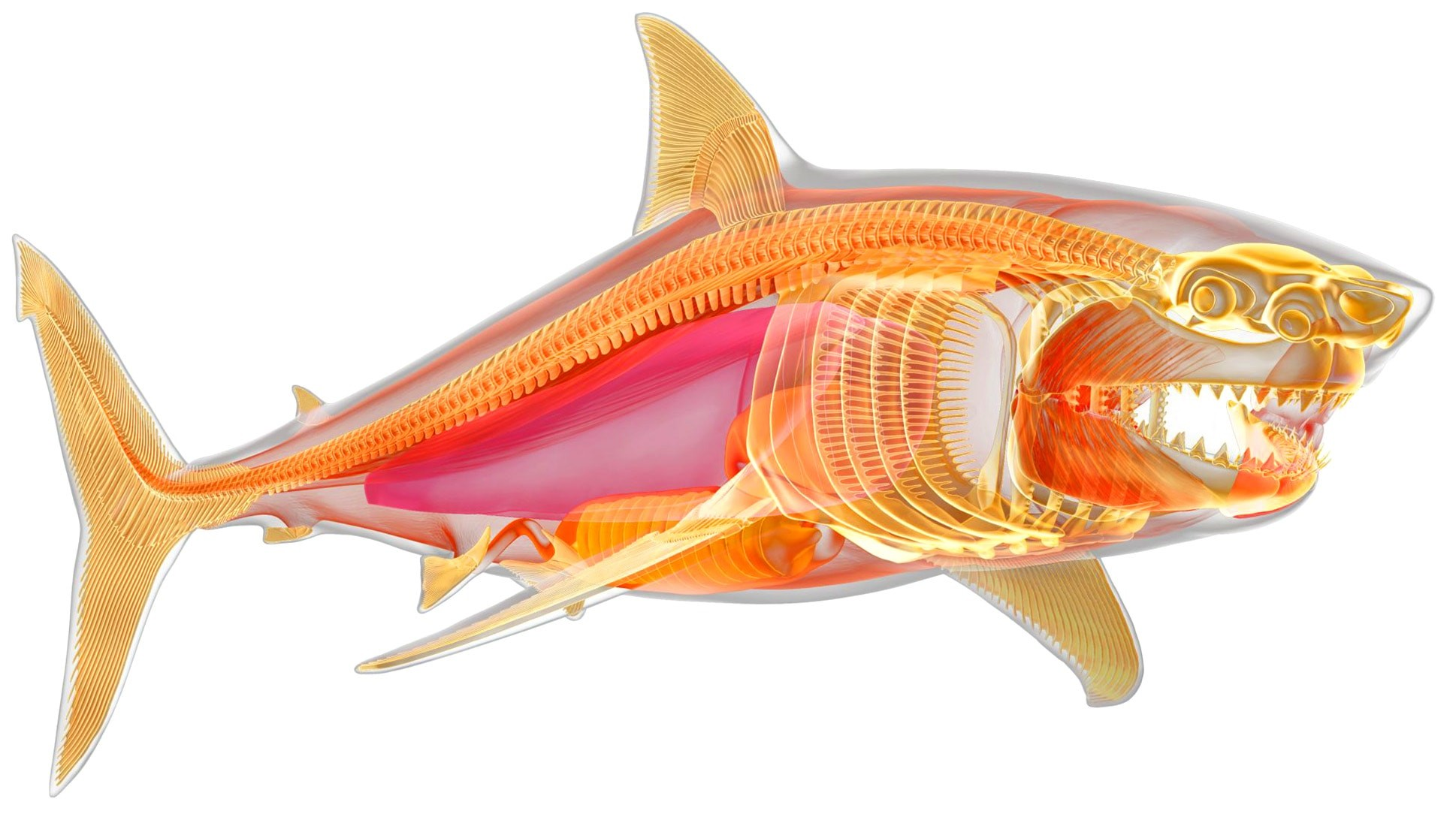 Скелет хрящевой рыбы