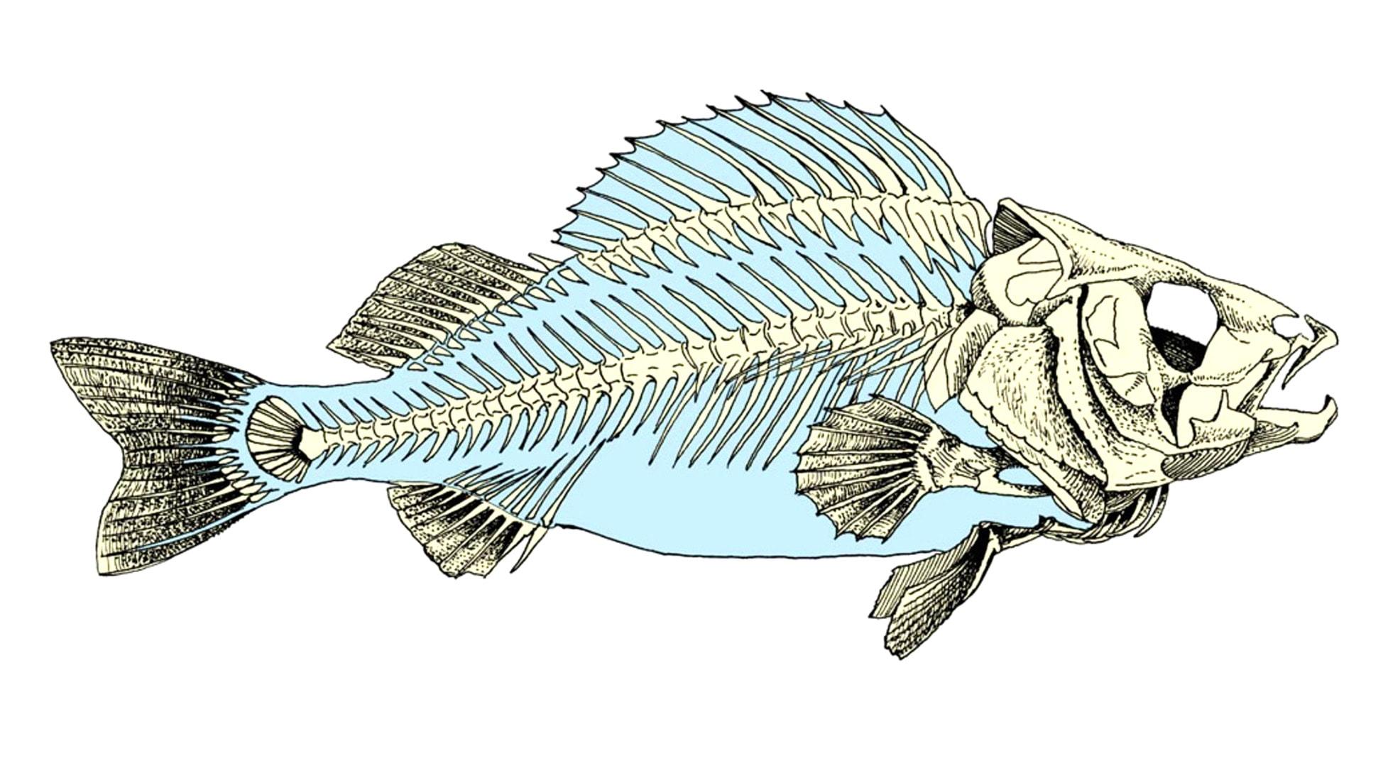 Скелет костной рыбы