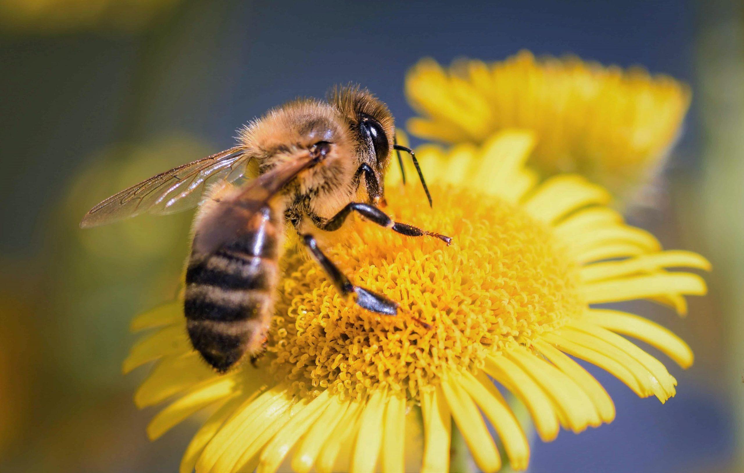 Сколько у пчелы глаз?
