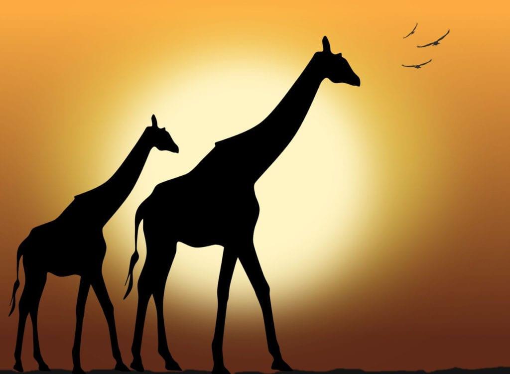 Сколько живут жирафы?