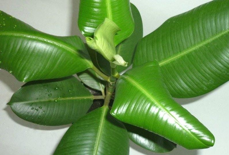 Скручиваются листья у комнатных растений