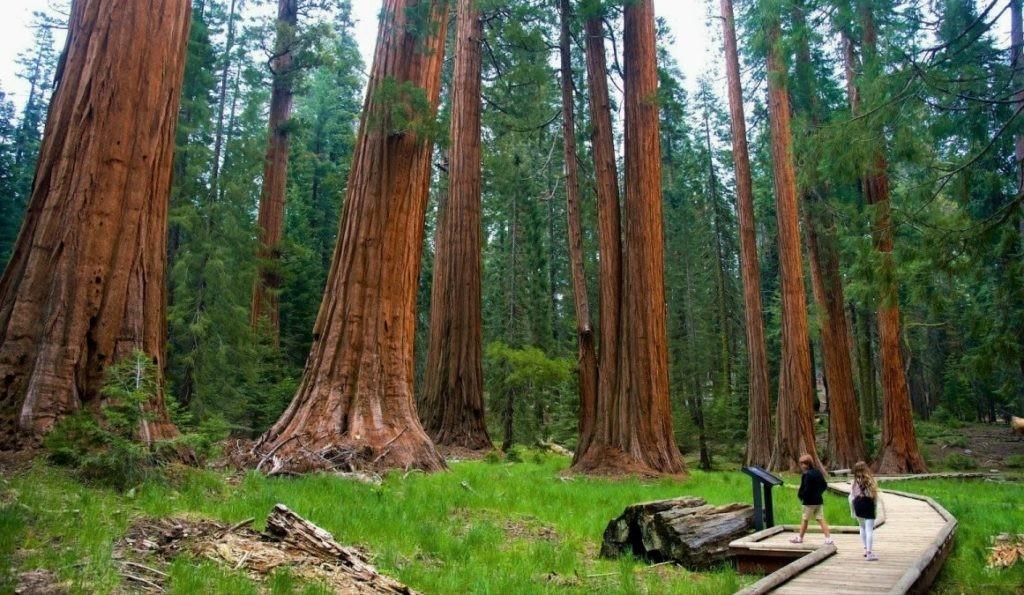 Секвойи - самые высокие деревья