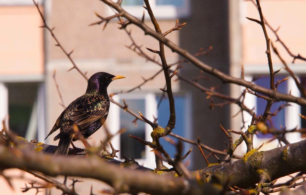 Скворец - городская птица