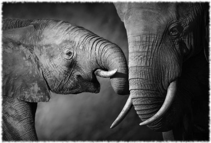 Слоны - интересные факты