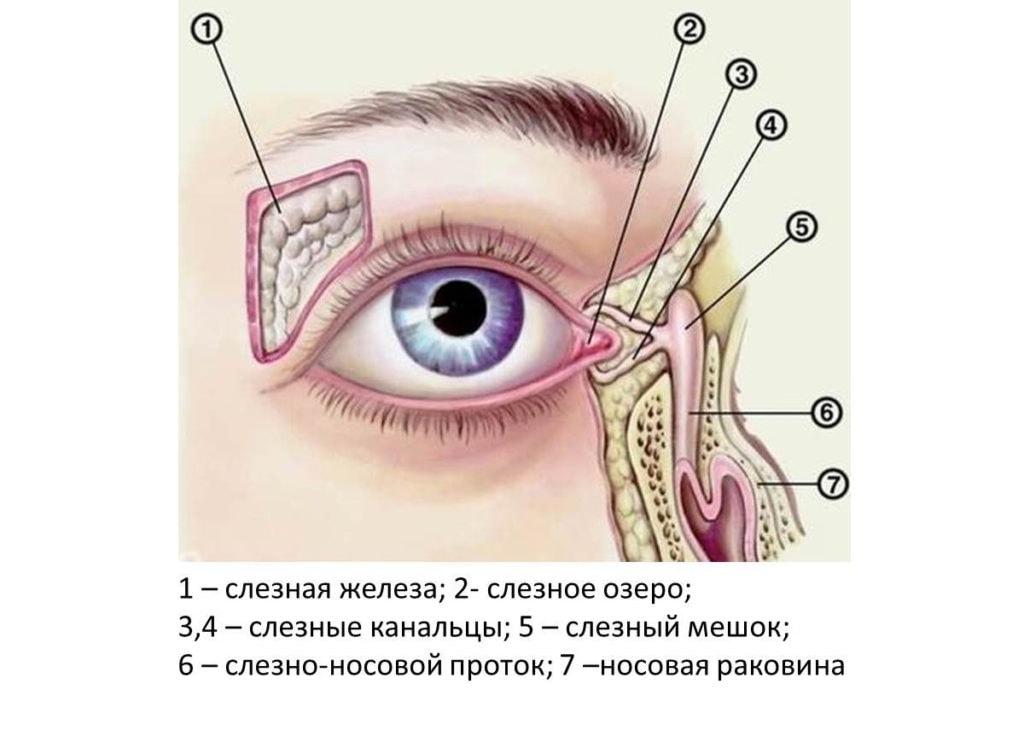 Строение слезных органов