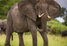 Слон - описание, характеристики, ареал, виды, питание, размножение, сколько весит, фото и видео