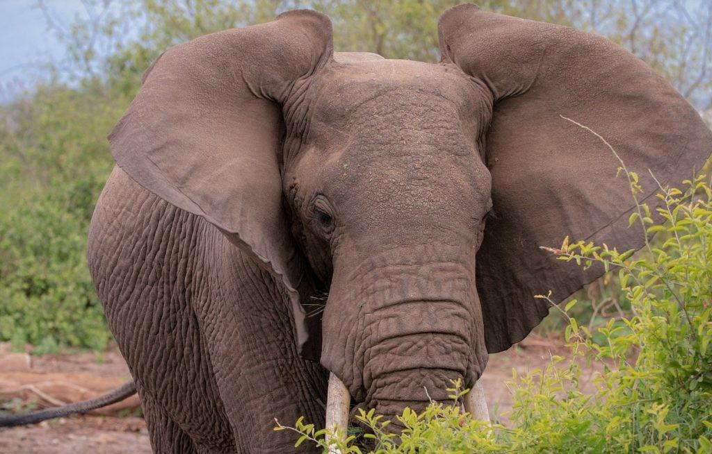 Слон машет ушами для охлаждения