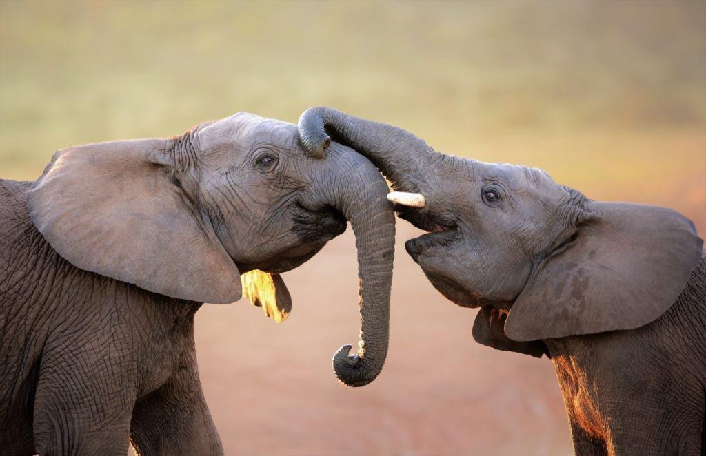 Два слона приветствуют друг друга