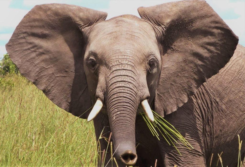 Уши слона обладают уникальным узором