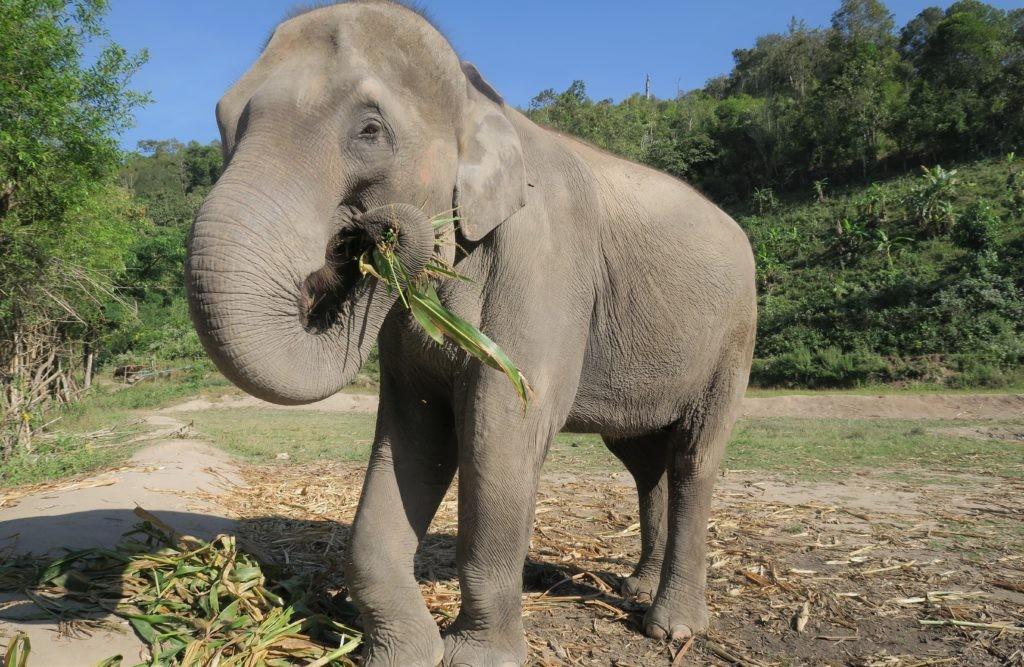 Основной рацион слонов составляет трава