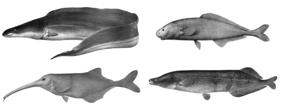 Рыбы слонорылы, или мормиры