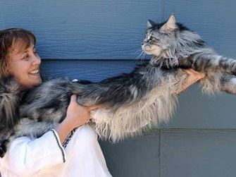 Самый большой кот в мире - Стьюи