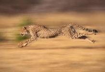 Самые быстрые кошки в мире