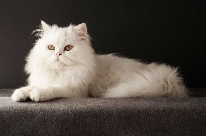 Самые длинношерстные породы кошек