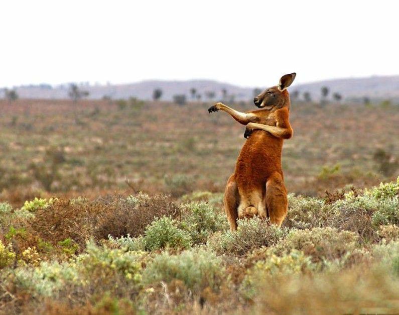 Смешное кенгуру