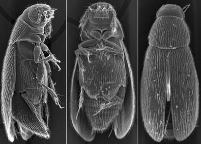 Nanosella russica
