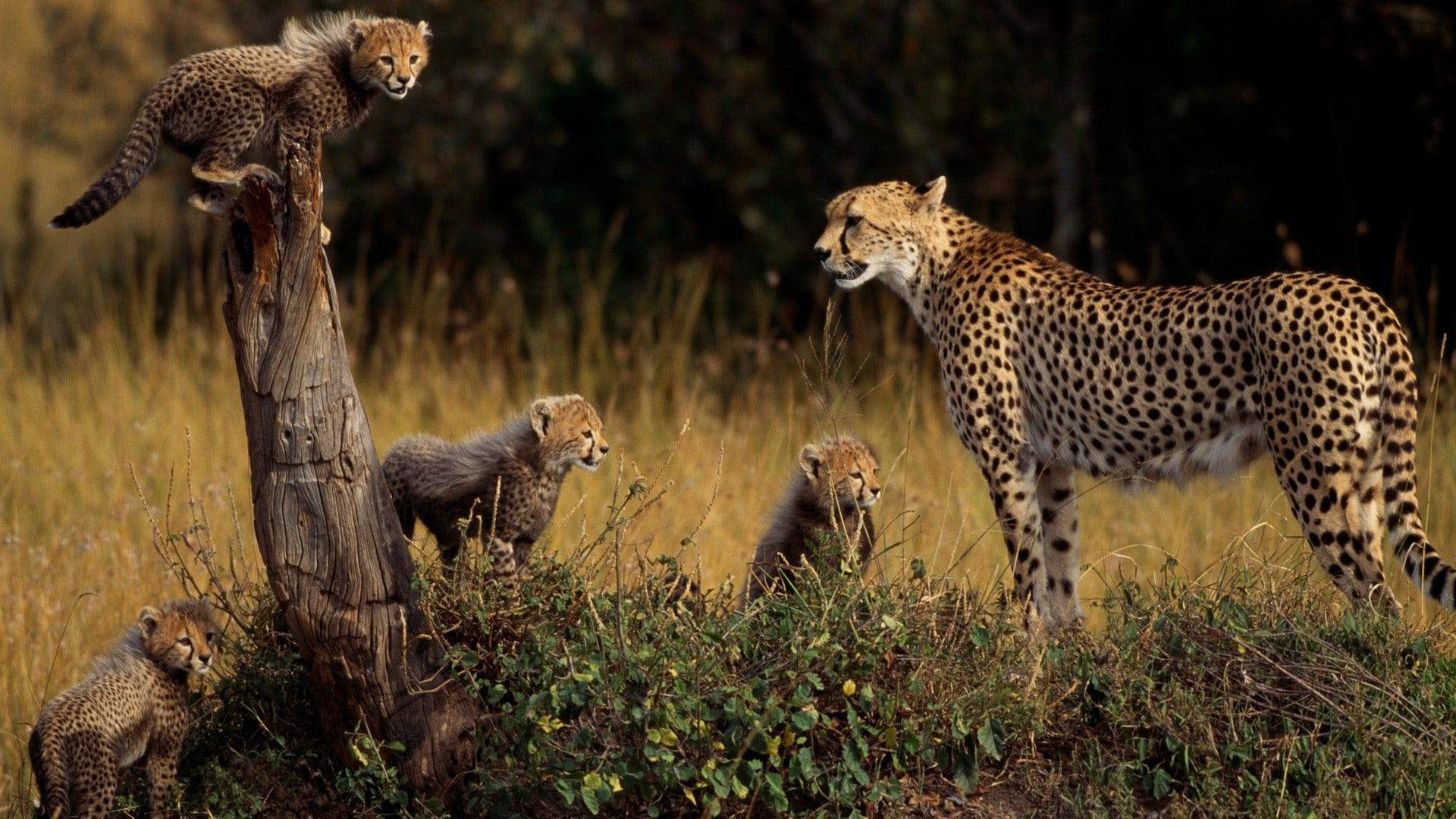 Самка гепарда с детенышами