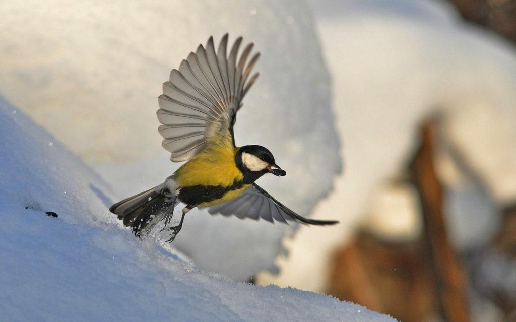 Синица ищет пищу зимой