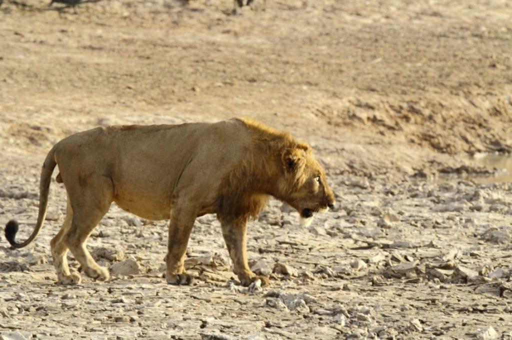 Западно-африканский лев