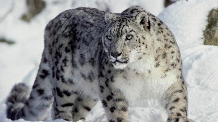 Снежный барс живет в заснеженных горах