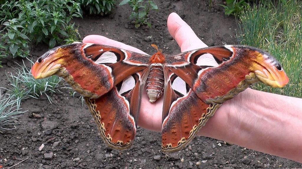 Бабочка : Сатурния-Атакус