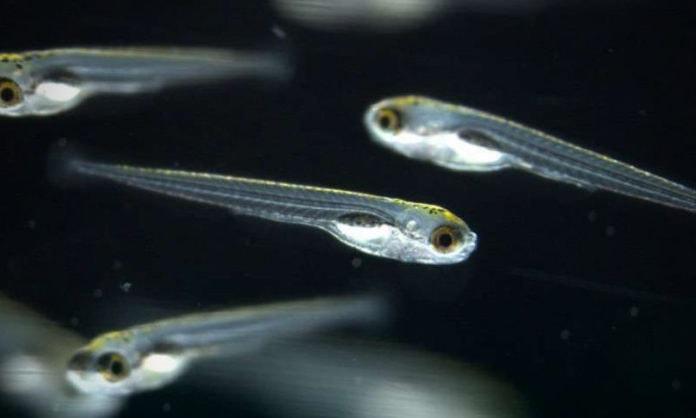 Ученые – биологи выяснили, что у рыб существует парадоксальный сон