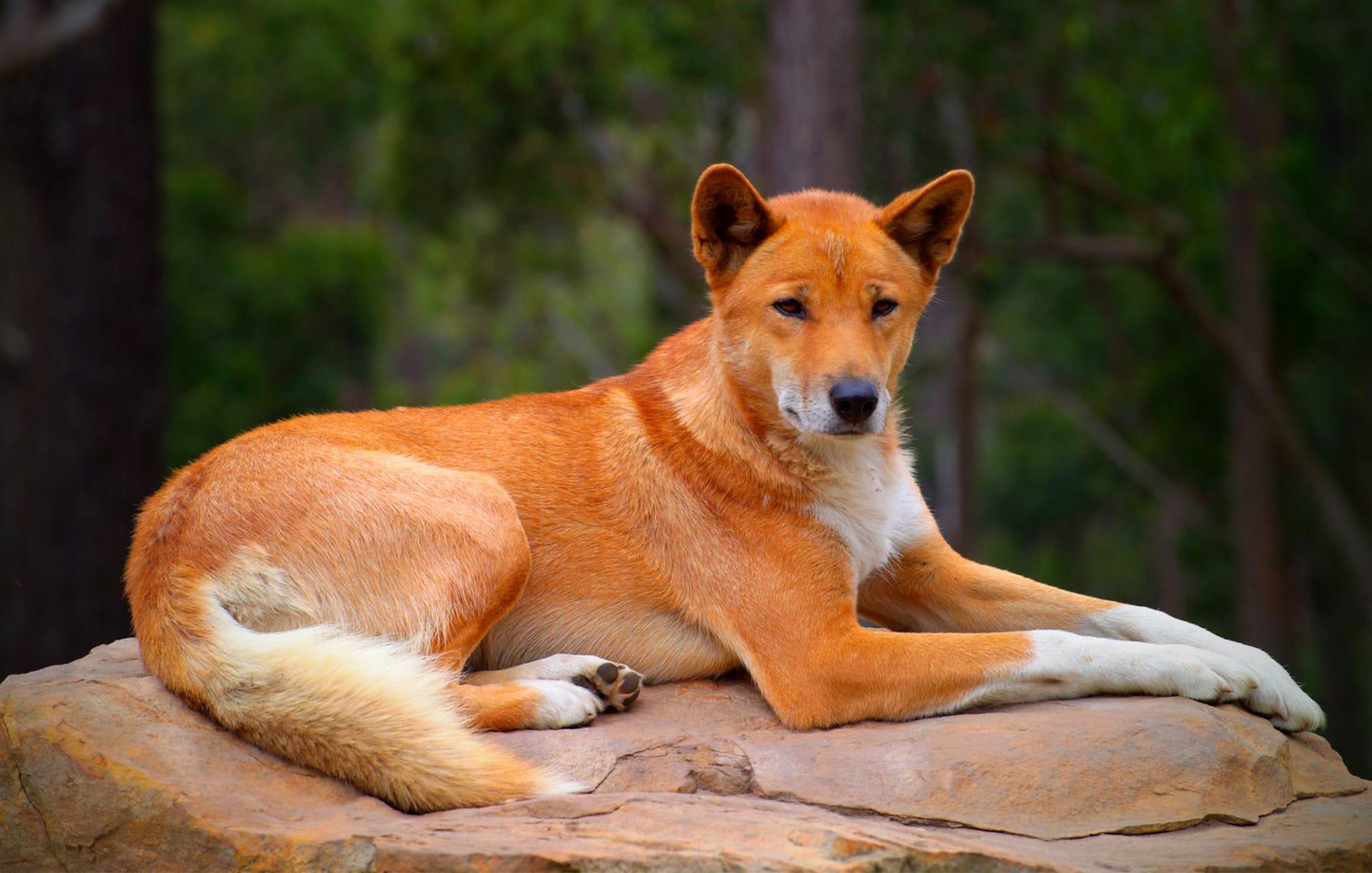 Вторично одичавшая собака динго