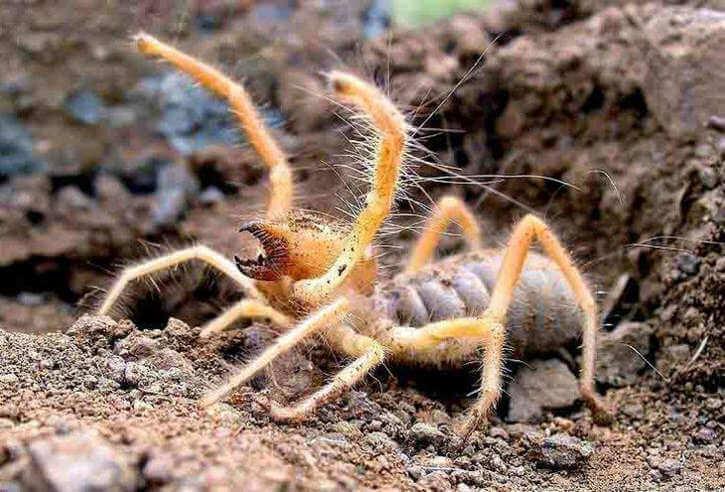 Сольпуга или паук фаланга