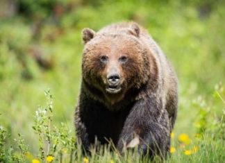 Самые опасные медведи