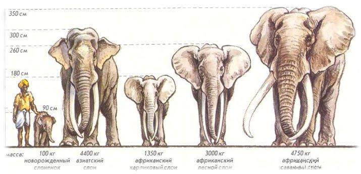 Вес и рост слонов и человека
