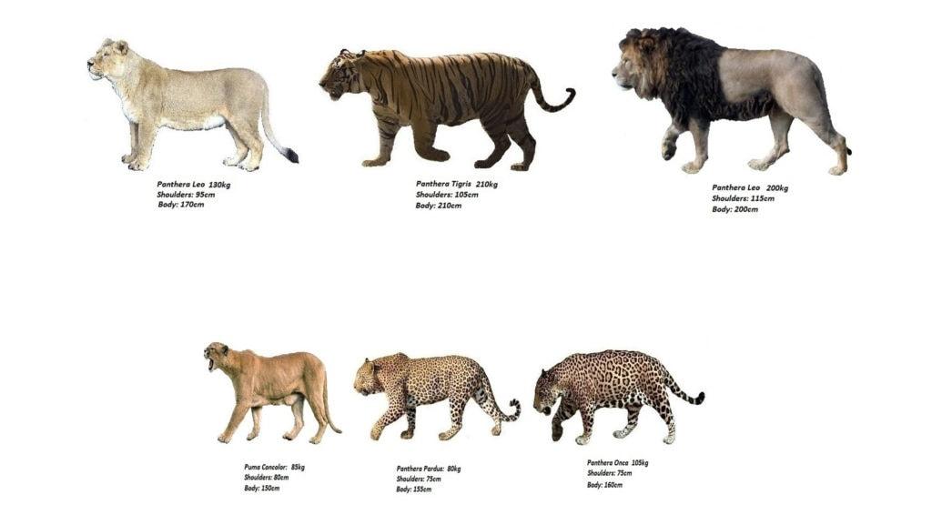 Сравнение видов кошачьих
