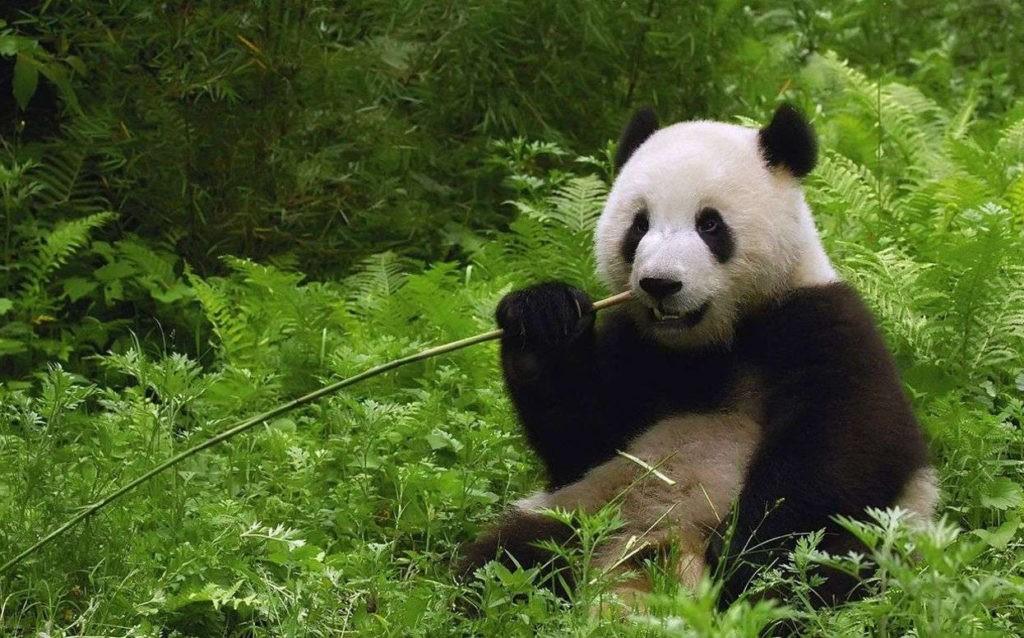 Среда обитания панд