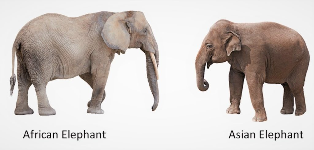 Сравнение африканского и индийского слонов