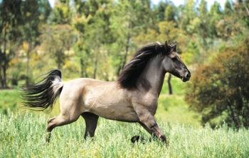 Порода лошадей - Соррайя